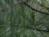 Pine Needles Pray by Jim Roberts
