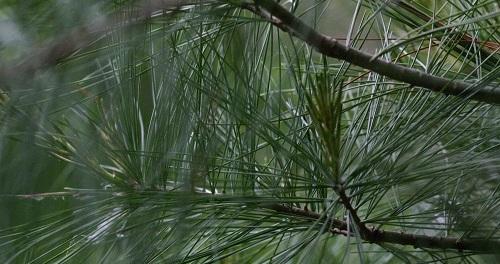 Pine Needles Pray by Jim Roberts