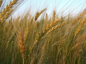 SERMON: The Wheat and the Tares Reinhold Niebuhr