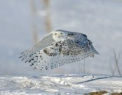 White Owl Flies Into And Out Of The Field Mary Oliver