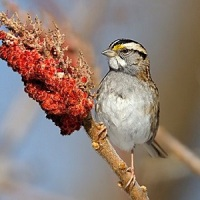 POETRY: The Beautiful, Striped Sparrow by Mary Oliver