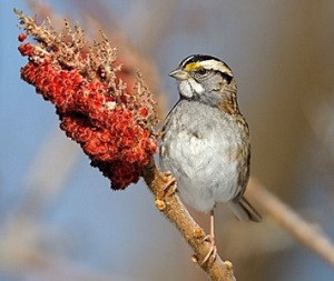 beautiful striped sparrows mary oliver