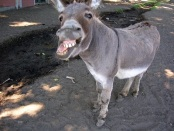 How Donkeys God The Spirit Of Contradiction André Trocmé
