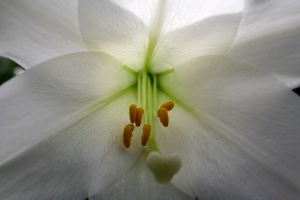 The White Lily Jane Tyson Clement