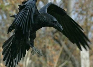 the raven's fate Julia Marks
