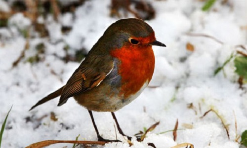 How did the robin get a red breast legend