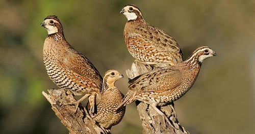 Wind And A Bobwhite by Thomas Merton
