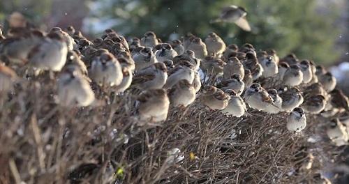 Vesper Sparrows by Deborah Digges