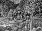 A Wind-Storm In The Forests by John Muir