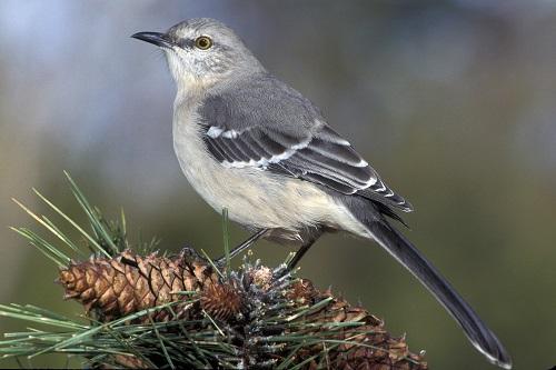 The Mocking-Bird by Frank Lebby Stanton