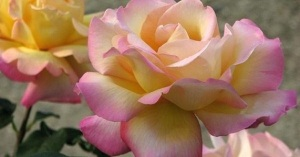 Roses by Diane Ackerman