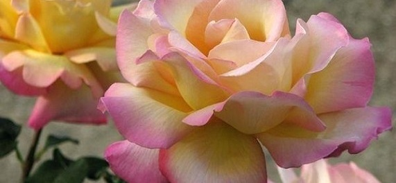 Roses by Diane Ackerman